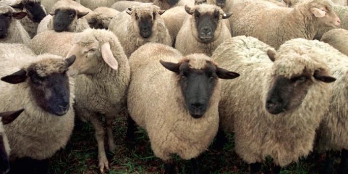 Name:  Schafe.jpg Hits: 331 Größe:  80,1 KB